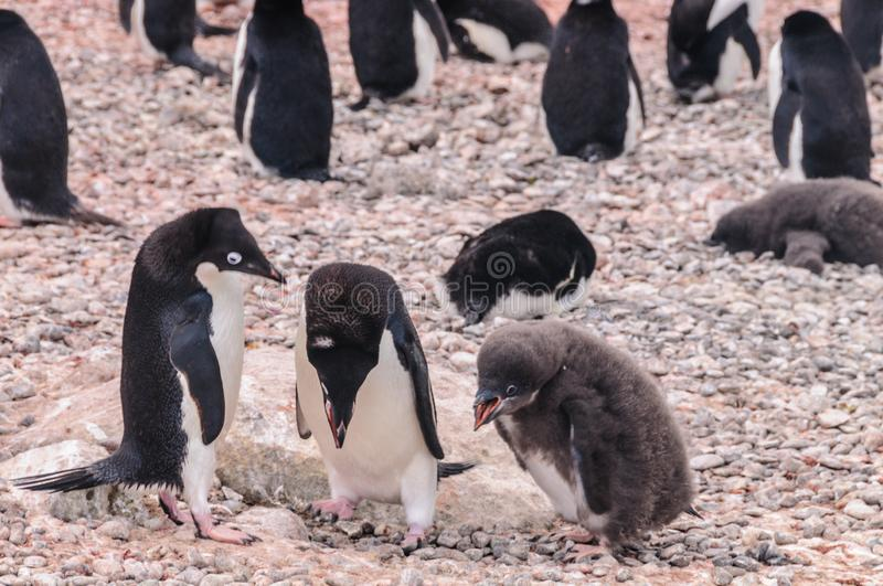 Adelie Penguin couple feeding their chick stock images