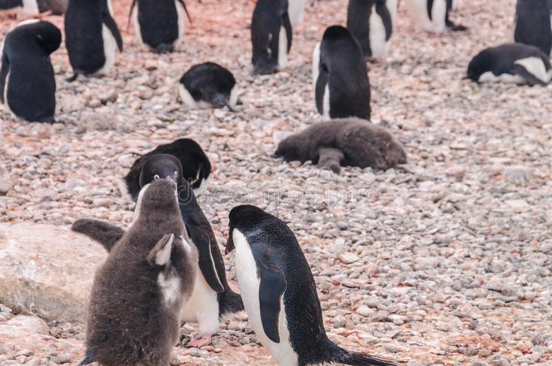 Adelie Penguin couple feeding their chick stock image