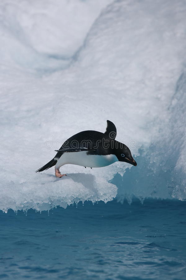 Adelie penguin diving from iceberg royalty free stock image