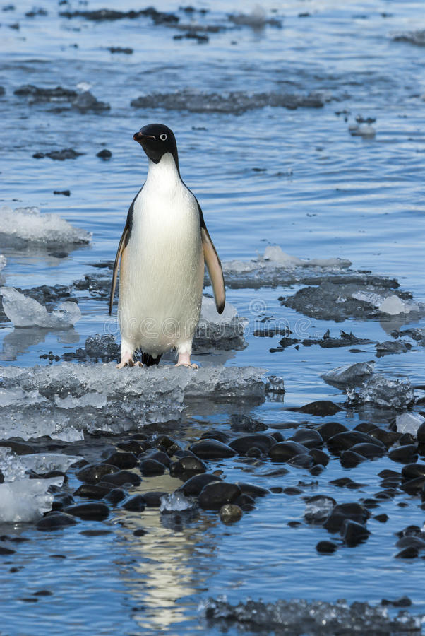 Adelie Penguin on ice royalty free stock images