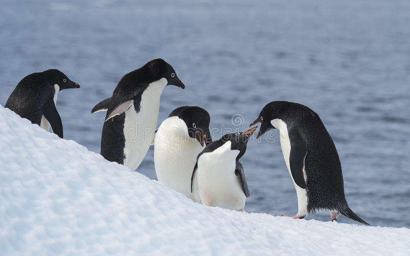 Adelie Penguin jump stock images