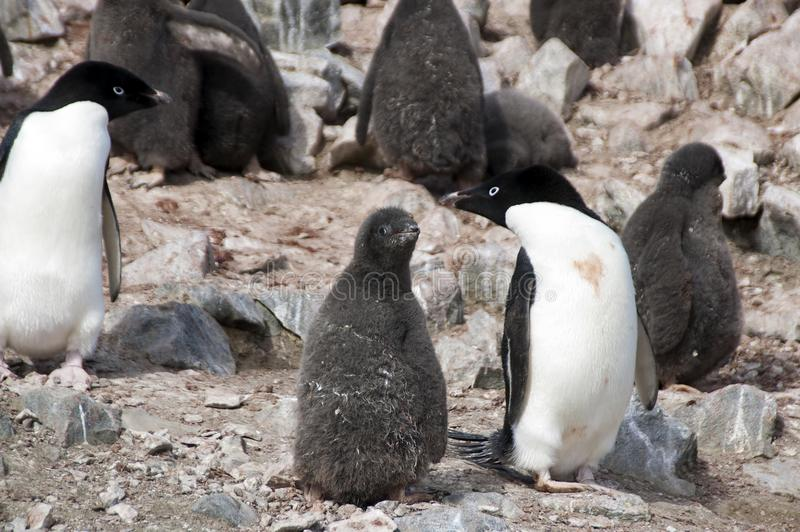 Adelie penguin juvenile and adult in colony. Summer scene in penguin colony at Devil Island, Antarctica royalty free stock photo
