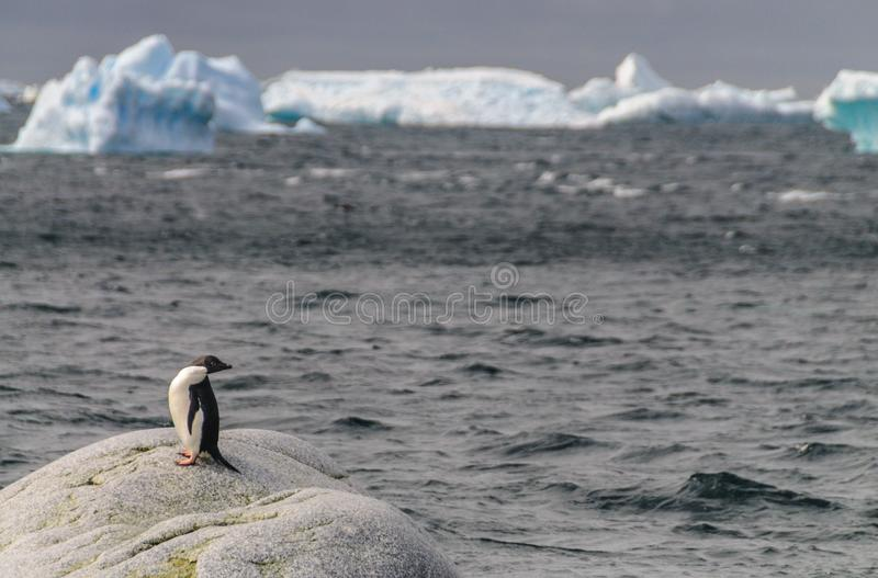 Adelie Penguin Looking Back stock photos