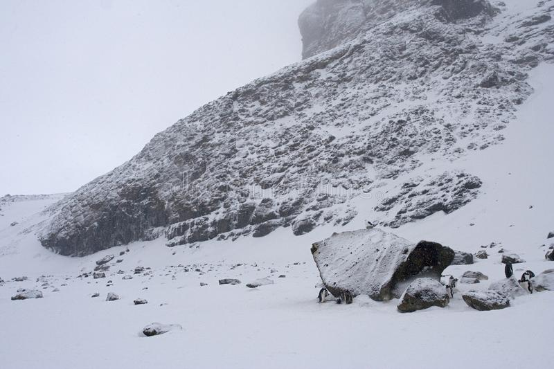 Adelie Penguin, Adelie Pinguin, Pygoscelis adeliae. Adelie Penguin in the snow; Adelie Pinguin in de sneeuw stock image
