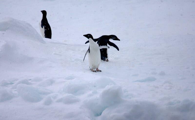 Adelie Penguin, Adelie Pinguin, Pygoscelis adeliae. Adelie Penguin in the snow; Adelie Pinguin in de sneeuw royalty free stock image