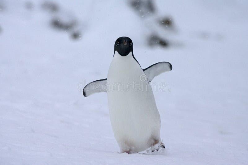 Adelie Penguin, Adelie Pinguin, Pygoscelis adeliae. Adelie Penguin in the snow; Adelie Pinguin in de sneeuw royalty free stock images