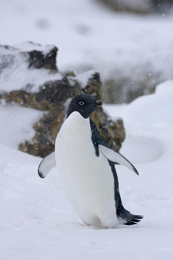 Adelie Penguin, Adelie Pinguin, Pygoscelis adeliae. Adelie Penguin in the snow; Adelie Pinguin in de sneeuw stock photo