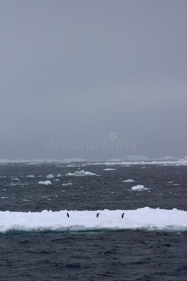 Adelie Penguin, Adelie Pinguin, Pygoscelis adeliae. Adelie Penguin in the snow; Adelie Pinguin in de sneeuw royalty free stock photo