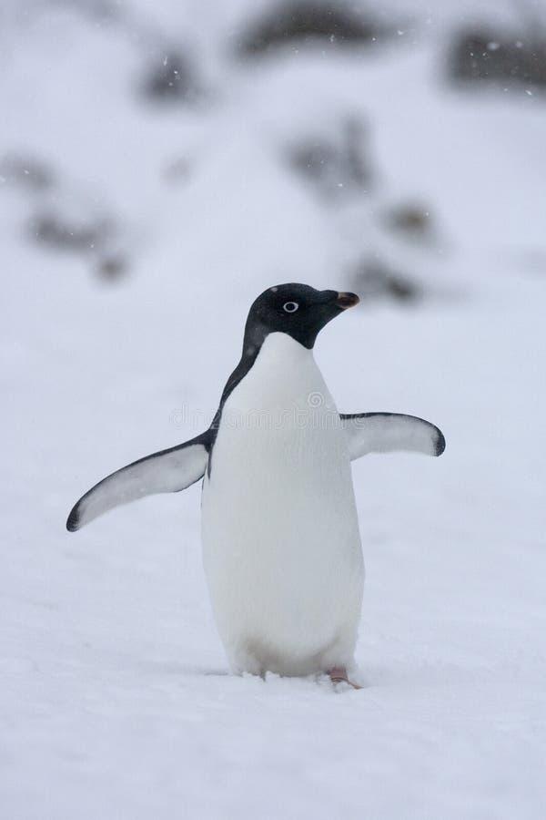 Adelie Penguin, Adelie Pinguin, Pygoscelis adeliae. Adelie Penguin in the snow; Adelie Pinguin in de sneeuw stock photos