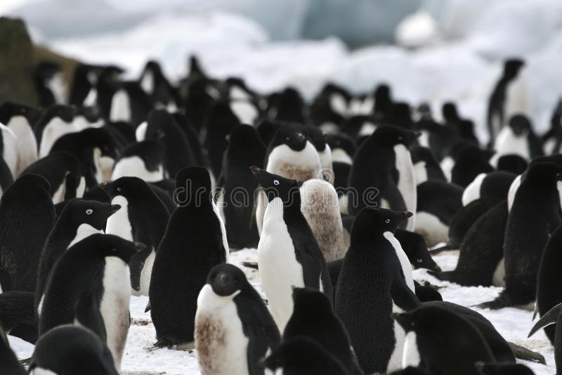 Adelie penguin (Pygoscelis adeliae). Standing in the middle of a colony on Brown Bluff, Antarctica stock images