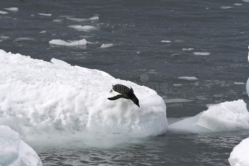 Adelie penguin (Pygoscelis adeliae). Jumping off an iceberg royalty free stock photography