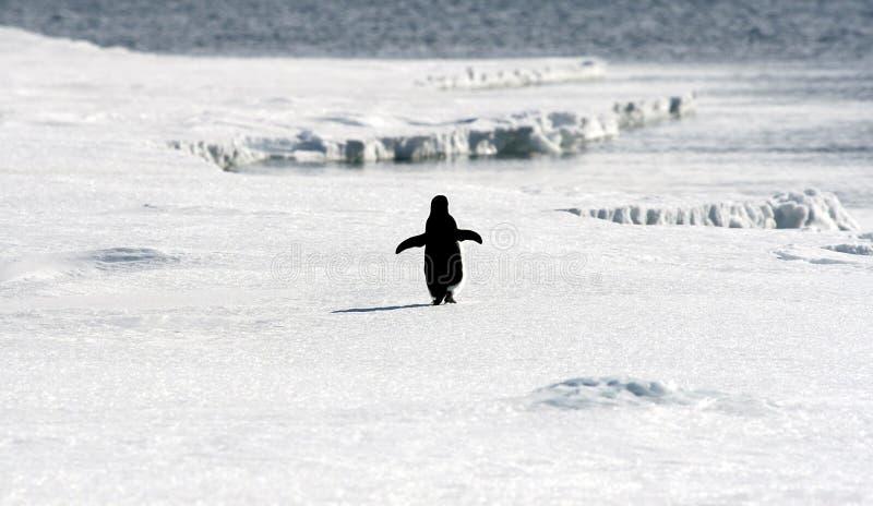 Adelie penguin (Pygoscelis adeliae). On the sea ice in the Weddell Sea, Antarctica royalty free stock photos