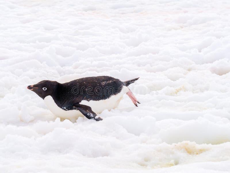 Adelie penguin, Pygoscelis adeliae, sliding across snow, Petermann Island, Antarctic Peninsula, Antarctica. Adelie penguin, Pygoscelis adeliae, tobogganing royalty free stock images