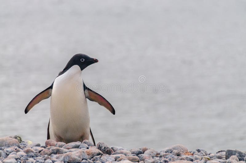 Adelie Penguin Standing on Paulet Island stock photography