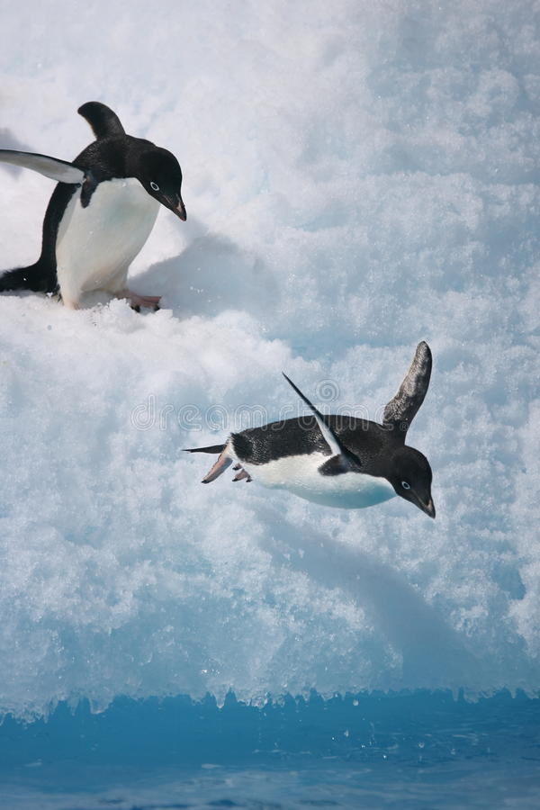 Adelie penguin about to jump from an iceberg royalty free stock photography