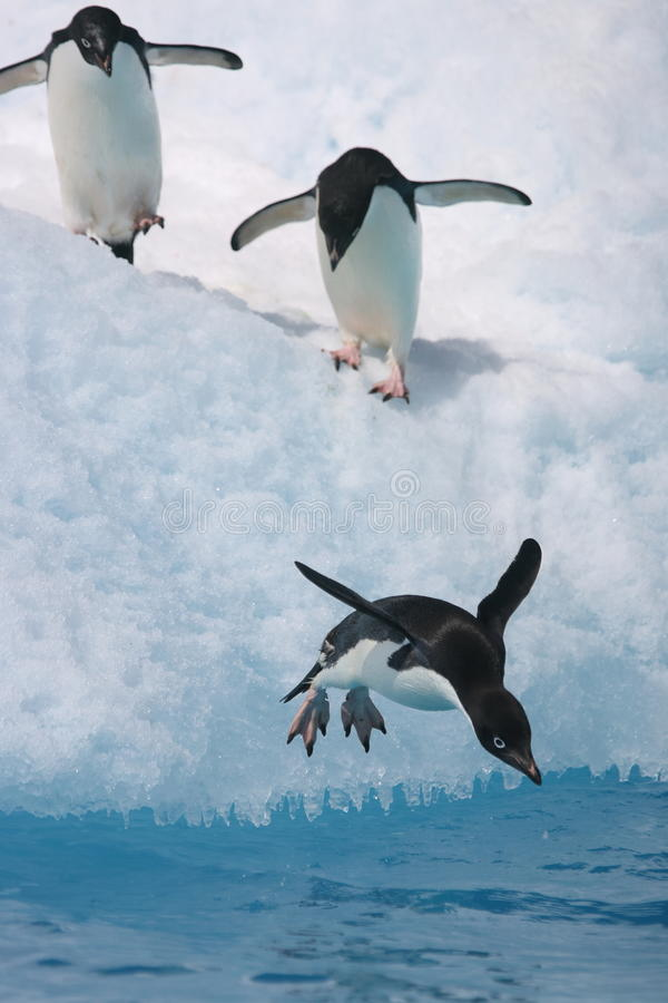 Adelie penguin about to jump from an iceberg stock photo