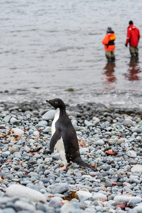 Adelie Penguin walking on the rocky beach at Turret Point, South Shetland Islands, two people in waders standing in water in backg stock image