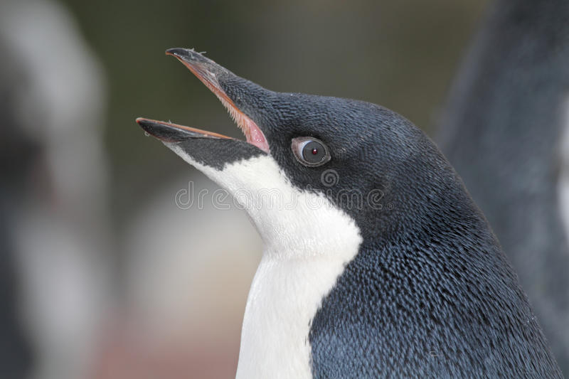 Adelie penguin young, Antarctia royalty free stock image