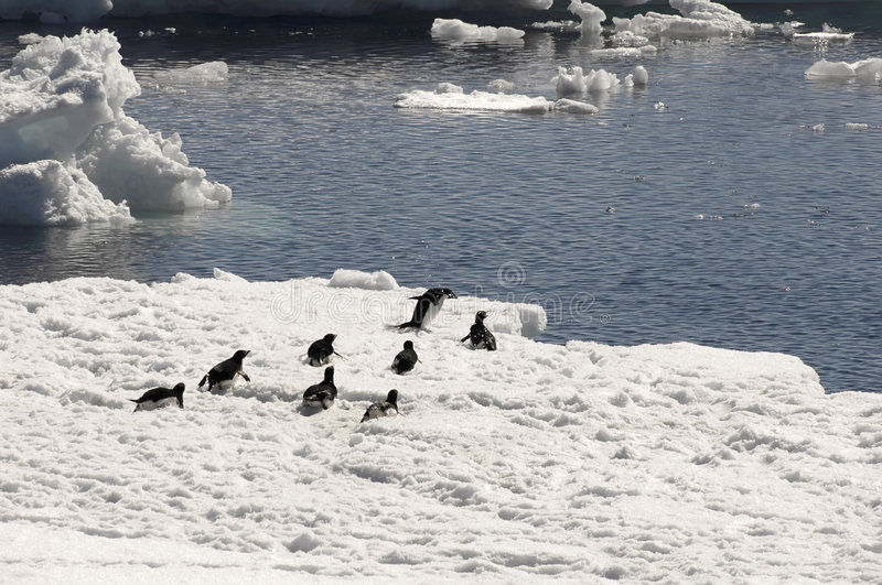 Adelie penguins on ice floe royalty free stock images
