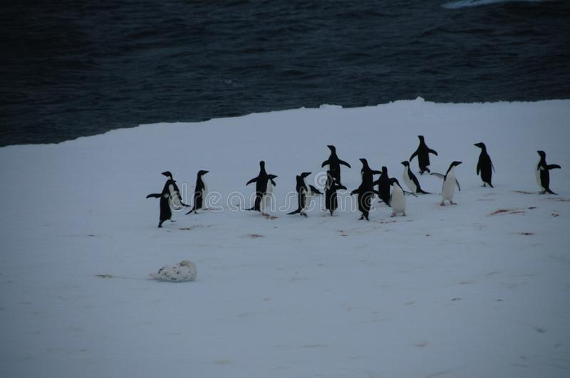 Adelie Penguins on an ice shelf in the Weddell Sea royalty free stock photography