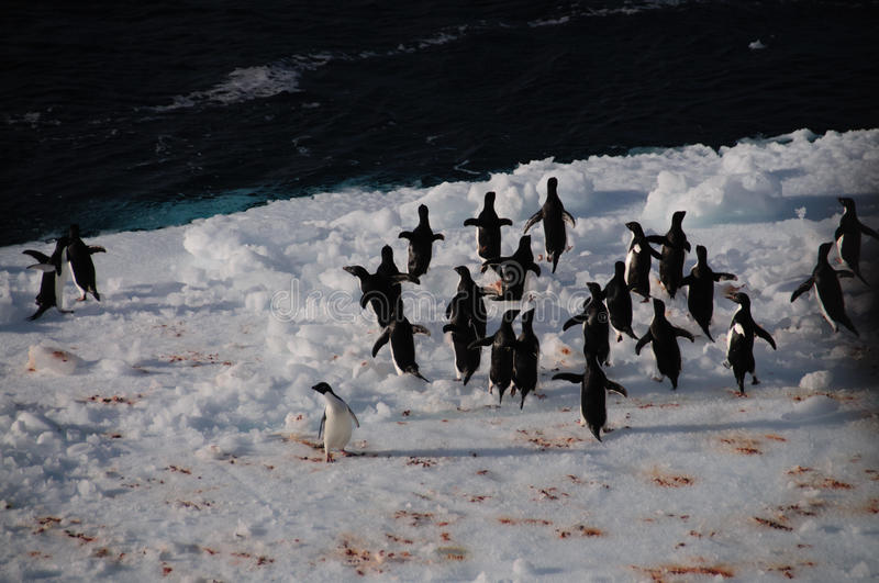 Adelie Penguins on an ice shelf in the Weddell Sea stock photos