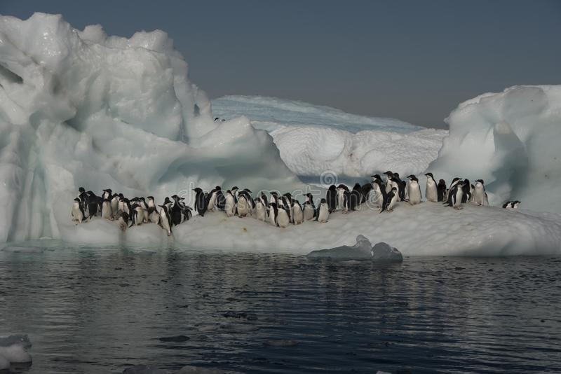 Adelie Penguins on iceberg in Antarctica royalty free stock photo