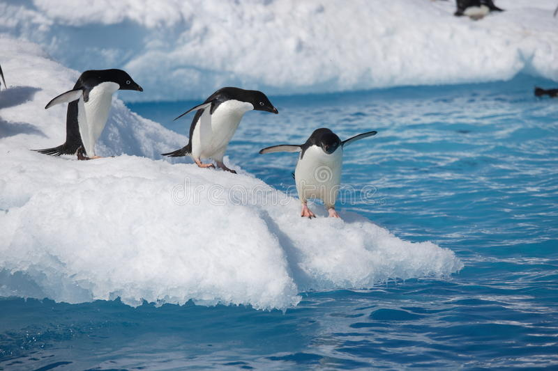Adelie penguins on iceberg edge in Antarctica. Adelie penguins ready to dive into the ocean from an iceberg in Antarctica