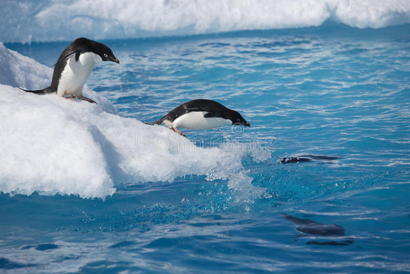 Adelie penguins on iceberg edge in Antarctica royalty free stock photos