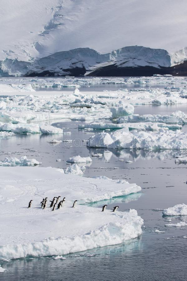 Adelie penguins jumping off ice float stock photos