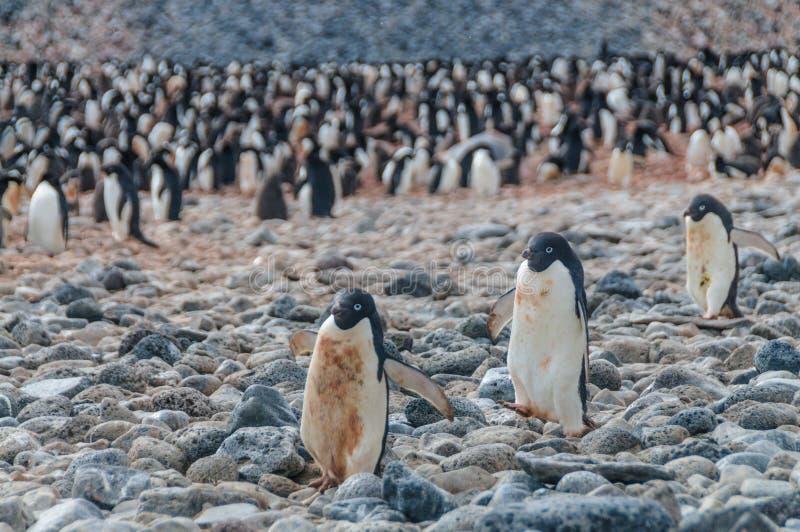 Adelie Penguins on Paulet Island. Adelie Penguins - Pygoscelis adeliae - On Paulet Island, near the Antarctic Peninsula royalty free stock images