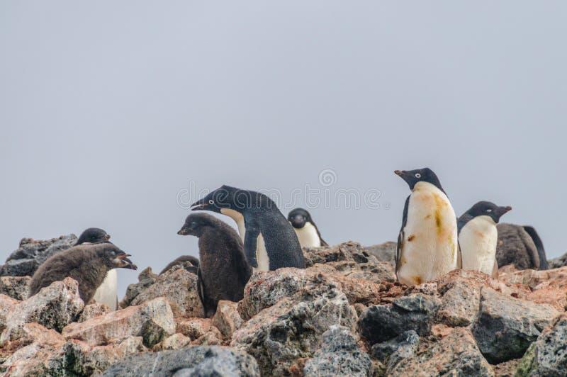 Adelie Penguins on Paulet Island. Adelie Penguins - Pygoscelis adeliae - On Paulet Island, near the Antarctic Peninsula stock images