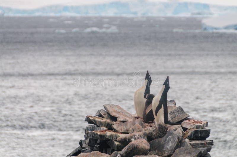 Adelie Penguins on Paulet Island. Adelie Penguins - Pygoscelis adeliae - On Paulet Island, near the Antarctic Peninsula royalty free stock photo