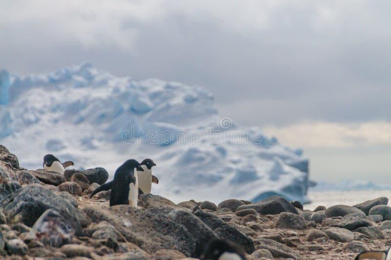 Adelie Penguins on Paulet Island. Adelie Penguins - Pygoscelis adeliae - On Paulet Island, near the Antarctic Peninsula stock photography