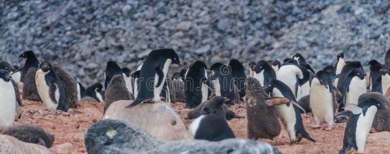 Adelie Penguins on Paulet Island. Adelie Penguins - Pygoscelis adeliae - On Paulet Island, near the Antarctic Peninsula royalty free stock photos