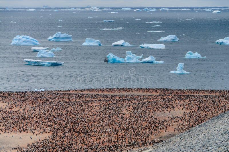 Adelie Penguins on Paulet Island. Adelie Penguins - Pygoscelis adeliae - On Paulet Island, near the Antarctic Peninsula stock photos