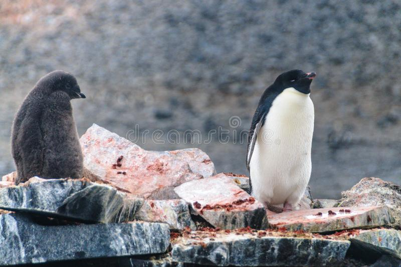 Adelie Penguins on Paulet Island. Adelie Penguins - Pygoscelis adeliae - On Paulet Island, near the Antarctic Peninsula stock image