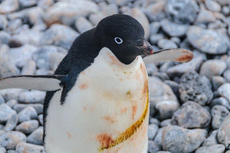 Adelie Penguins on Paulet Island. Adelie Penguins - Pygoscelis adeliae - On Paulet Island, near the Antarctic Peninsula stock photo
