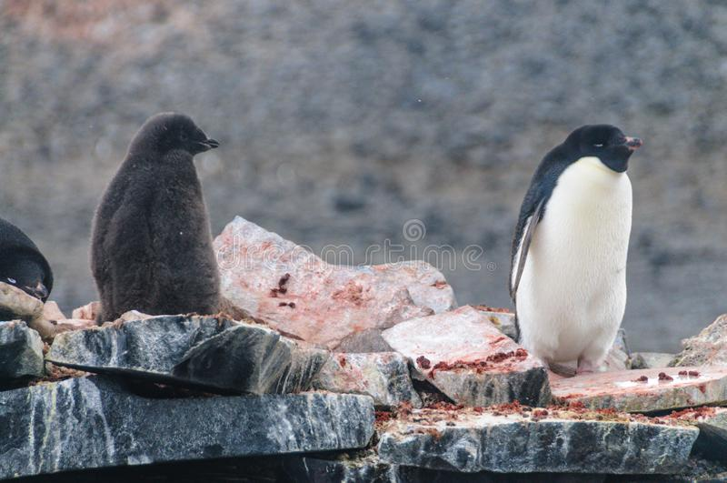 Adelie Penguins on Paulet Island. Adelie Penguins - Pygoscelis adeliae - On Paulet Island, near the Antarctic Peninsula royalty free stock photography