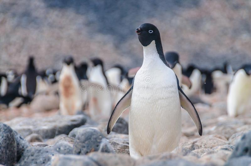 Adelie Penguins on Paulet Island royalty free stock image