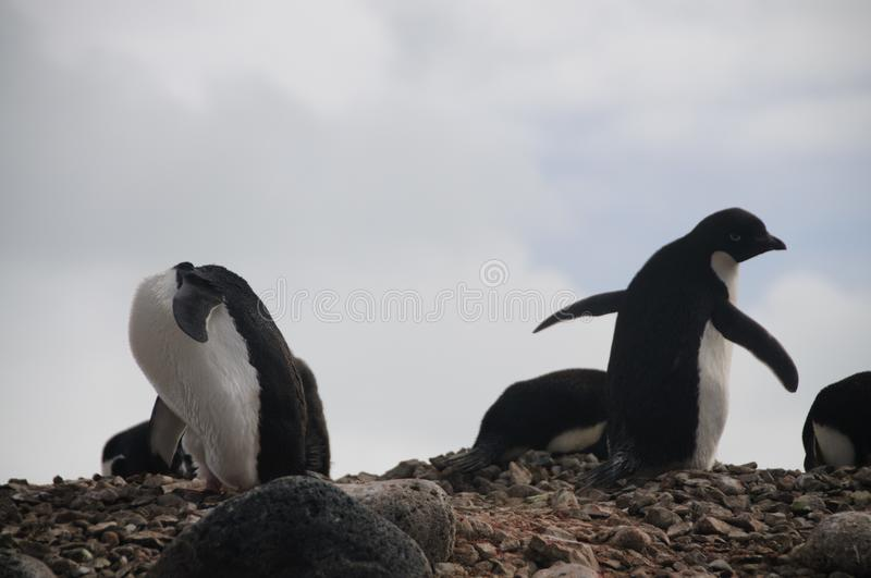 Adelie Penguins on Paulet Island. Penguins at the Paulet Island Rookerie, off the coast of the Antarctic Peninsula royalty free stock photo