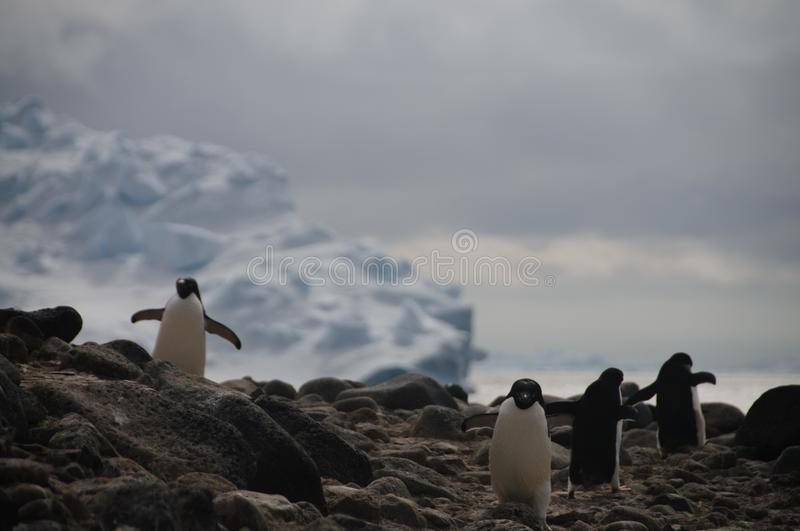 Adelie Penguins on Paulet Island. Penguins at the Paulet Island Rookerie, off the coast of the Antarctic Peninsula stock photos