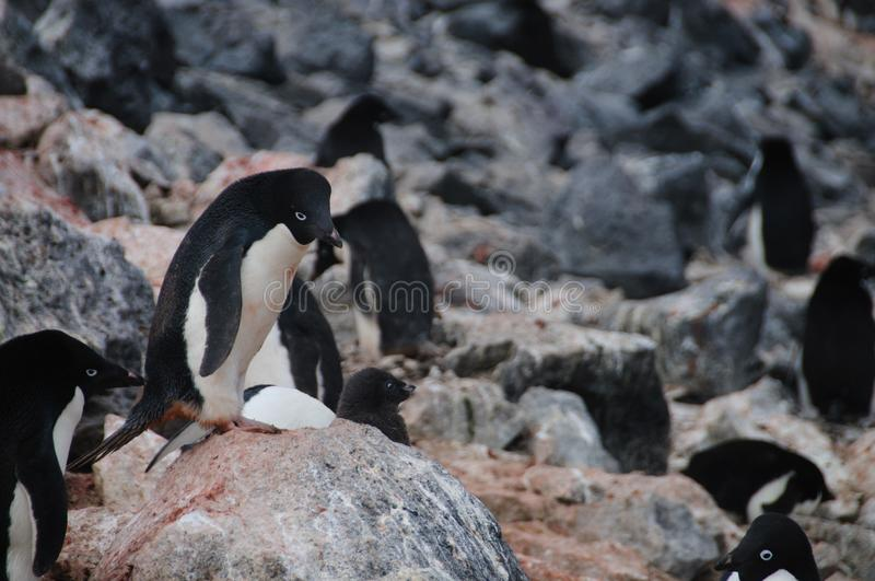Adelie Penguins on Paulet Island. Penguins at the Paulet Island Rookerie, off the coast of the Antarctic Peninsula stock image