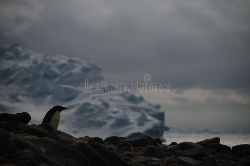 Adelie Penguins on Paulet Island. Penguins at the Paulet Island Rookerie, off the coast of the Antarctic Peninsula royalty free stock photos