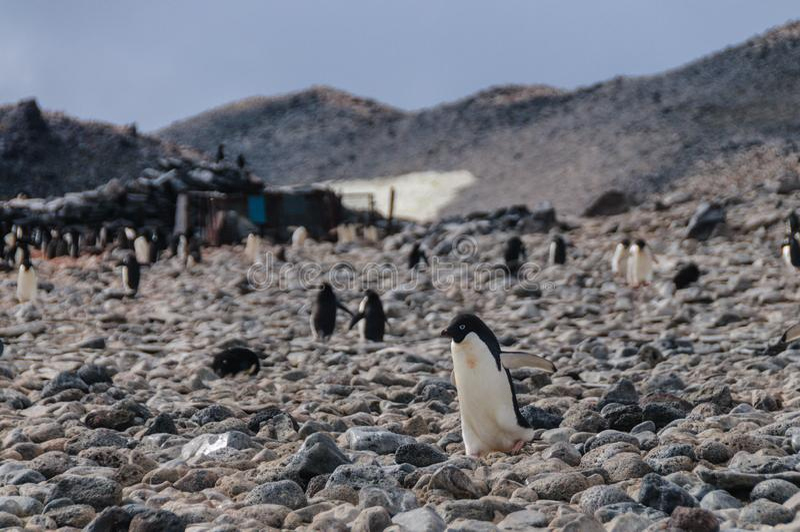 Adelie Penguins on Paulet Island. Adelie Penguins - Pygoscelis adeliae - On Paulet Island, near the Antarctic Peninsula royalty free stock image