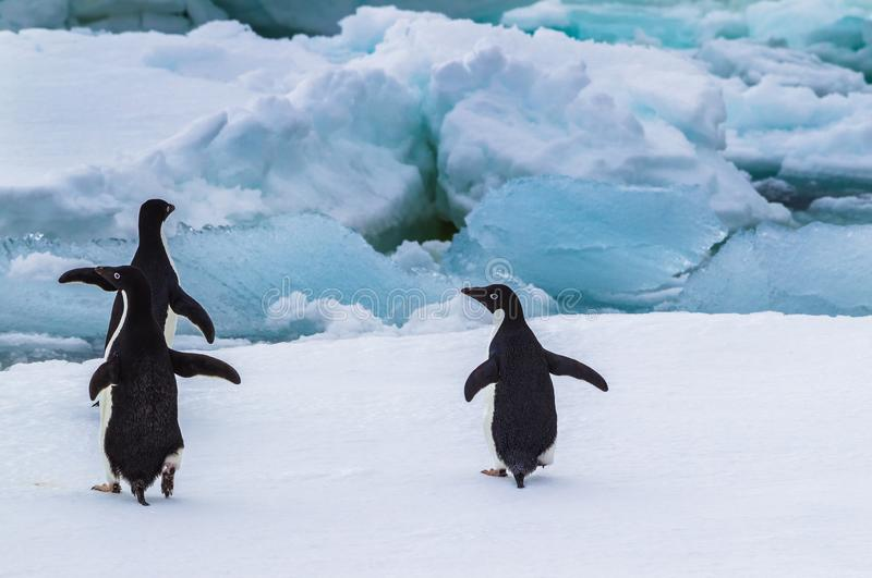 Adelie penguins ready to dive in between the ice stock photography