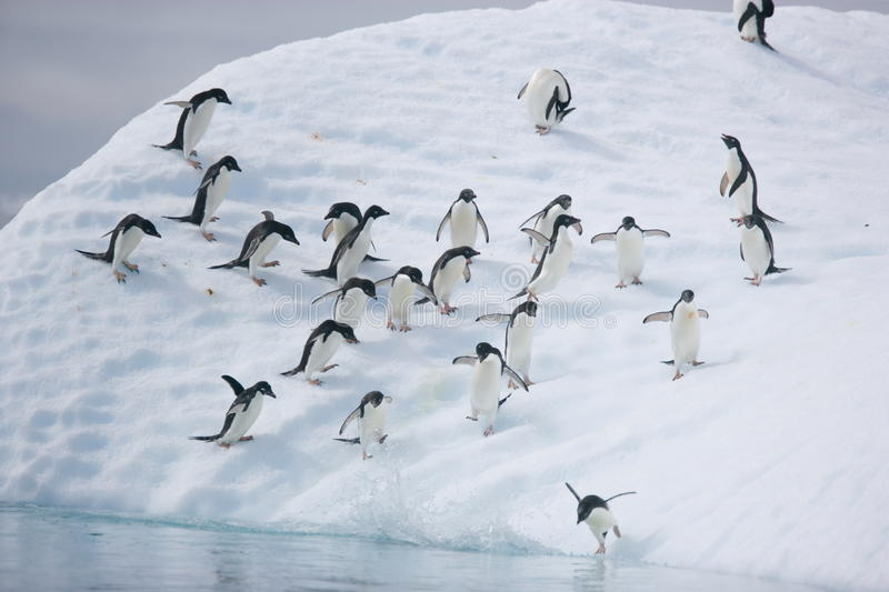 Adelie penguins ready to leap into the ocean from an iceberg when the coast is clear. Adelie penguins & x28;Pygoscelis adeliae& x29; move down an iceberg to jump royalty free stock images
