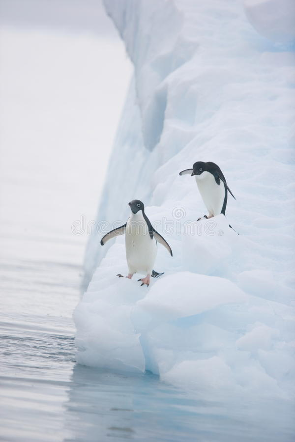 Adelie penguins ready to leap into the ocean from an iceberg when the coast is clear. Adelie penguins & x28;Pygoscelis adeliae& x29; move down an iceberg to jump royalty free stock photography