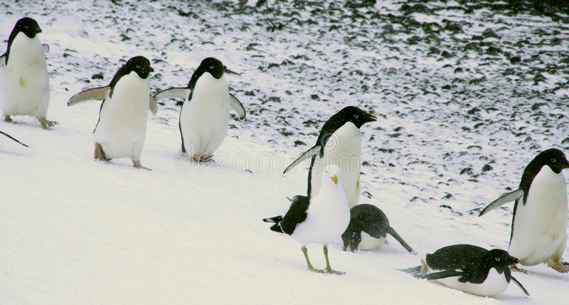 Adelie penguins sliding royalty free stock image