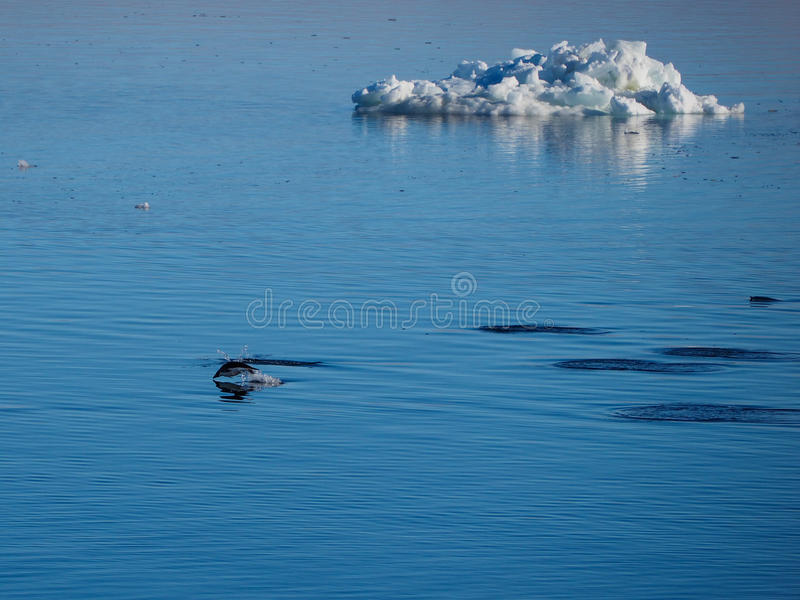 Adelie Penguins swimming and diving in Antarctica stock photo