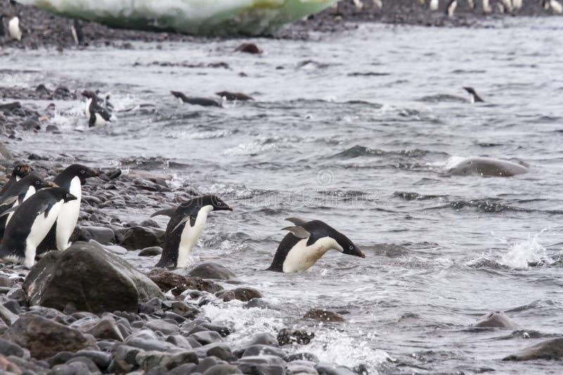 Adelie penguins swimming, Paulet Island, Antarctica. Adult adelie penguins diving off shore of Paulet Island, Antarctica stock images
